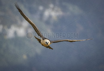 Lammergeier (Gypaetus barbatus)  adult flying in falling snow  Spanish Pyrenees