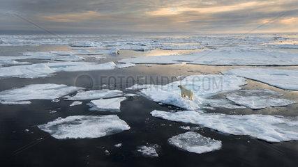 Polar bear (Ursus maritimus) across melting sea ice  Spitzbergen  August 2016