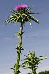 Milk thistle (Silybum marianum (L.) Gaertn.) in bloom. Used as a medicial plant. Balaguer. Noguera. Lleida. Catalunya. Spain.