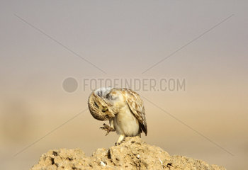 Little owl scratching on ground - Qatar