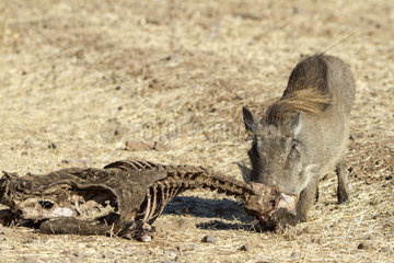Desert Warthog eating bones - Chobe Botswana
