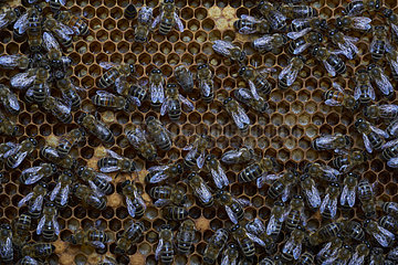 Honey bee (Apis mellifera) - On a frame of wax cells  nurse bees watch over young bee larvae.-