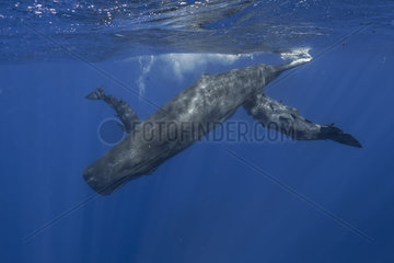 Sperm whale breast-feeds her baby while the newborn rub his mother like a hug - Indian Ocean