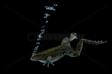 Lowland frog swimming on black background