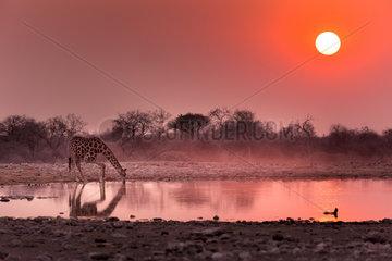 Girafe (Giraffa Camelopardalis ) buvant au point d'eau au lever du soleil  Namibie  Etosha national parc /Giraffe (Giraffa Camelopardalis) drinking at the waterhole at sunrise   Namibia  Etosha national park