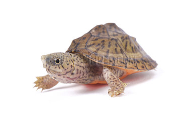 Razor-backed musk turtle (Sternotherus carinatus) on white background