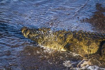 Nile crocodile (Crocodylus niloticus) threatening  Kruger National Park  South Africa