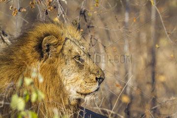 Portrait of Lion (Panthera leo)  Kruger National Park  South Africa