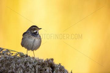 Bluethroat (Luscinia svecica) on Reed  Toledo  Spain