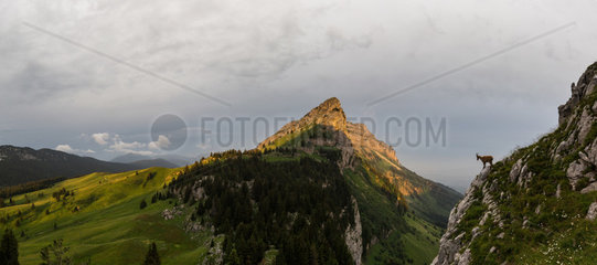 Female ibex (capra ibex) in front of Sous-Dine mountain at sunrise  Bornes mountains  Alps France