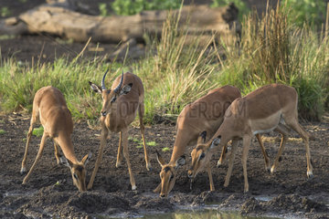 Impala (Aepyceros melampus) group at water point  Mapungubwe  South Africa