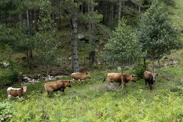 Corsican cows in the forest - Alta Rocca Corsica France