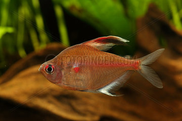 Bleading heart tetra (Hyphessobrycon erythrostigma) male