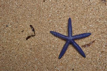 Blue sea star (Linckia laevigata) on sand  Bunaken Island  Sulawesi  Indonesia