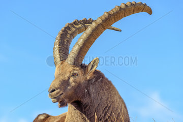Ibex (Capra ibex) male in autumn livery  Haute Maurienne  Vanoise  Alps  France