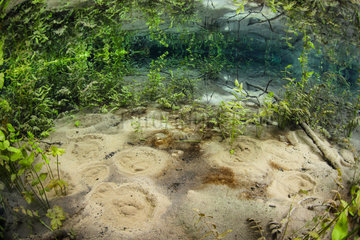 Resurgence of the groundwater in the shape of little sand volcano in the bottom of an Ain backwater  in the middle of aquatic vegetation. France  Ain (01)