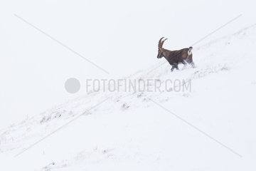 Alpine ibex (capra ibex) after the first snowfall  Chablais mountains  Alps  France).