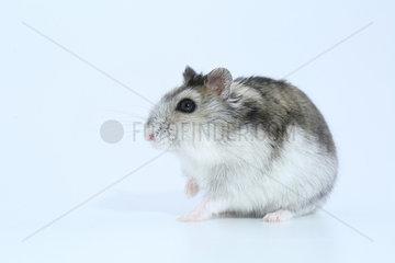 Domestic Russian Hamster (Phodopus sungorus) profil on white background
