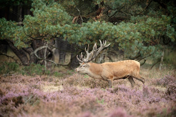 Red Deer (Cervus elaphus) bellowing in a Heather moor  Hoge Veluwe  Netherlands