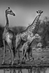 Giraffe (Giraffa camelopardalis) Family at the waterhole  Namibia  Etosha national park