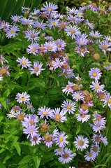 Pyrenean Aster (Aster pyrenaeus). Habitat: wet rocky grounds. Mountain zone. Endemic to Madagascar. Aspe valley  Pyrenees  France
