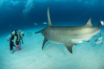 Scuba diver with Great hammerhead shark (Sphyrna mokarran) swimming over a sandy seabed  South Bimini  Bahamas. The Bahamas National Shark Sanctuary  West Atlantic Ocean.