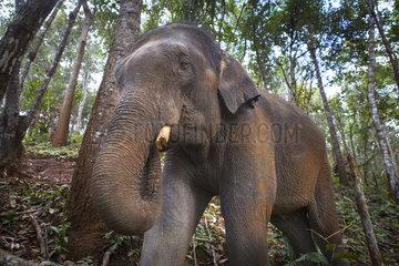 Asian Elephant (Elephas maximus) in the jungle  Dumbo Elephant Spca  Nong Tao  Chiang Mai Province  Thailand