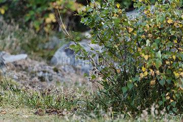 European Hare (Lepus europaeus) hidden behind a bush  Vosges Massif  France