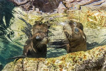 Couple of juvenile California sea lions (Zalophus californianus) playing  Los Islotes  Sea of Cortez  Baja California  Mexico  East Pacific Ocean