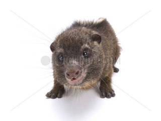 Western tree hyrax (Dendrohyrax dorsalis) on white background