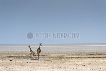 Giraffe (Giraffa camelopardalis) in Etosha pan  Namibia  Etosha national park