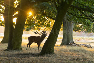 Red deer (Cervus elaphus) Red deer bellowing at sunrise  England  Autumn