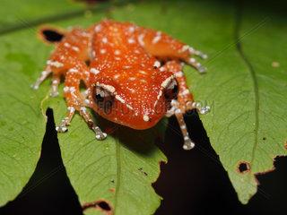 Cinnamon Frog - Tawau Hills Malaysia