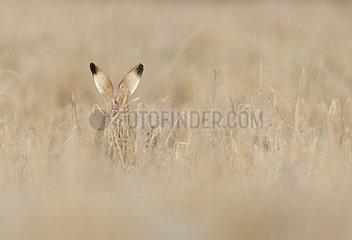 Brown hare (Lepus europaeus) Hare amongst Frozen grass  Aston Clinton  England  Winter