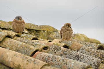 Lesser Kestrel couple on a rooftop - Spain