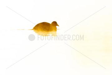 Silhouette of a coot (Fulica atra) swimming at sunrise  Ile du Rhin  Alsace  France
