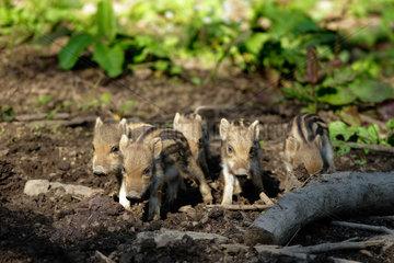 Wild boar (Sus scrofa) young  Ardenne  belgium
