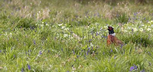 Pheasant (Phasianus colchicus) Male pheasant standing amongst flowers England  Spring