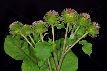 Greater burrdock (Arctium lappa). Habitat: alongside trails  up to 1 800 m above the sea level. Pyrenees  France