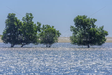 Mangrove apple (Sonneratia alba) at high tide  Mangrove of Belo sur Mer  Southwestern coast of Madagascar  South of Morondava