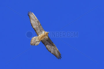 Bearded Vulture  Gypaetus barbatus  Gran Paradiso National Park  Alps  Italy  Europe
