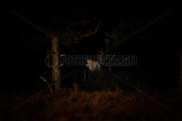 Red Deer (Cervus elaphus) bellowing in a clearing  Hoge Veluwe  Netherlands