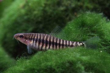 Vietnamese multi banded zebra loach (Yunnanilus cruciatus) in nano aquarium