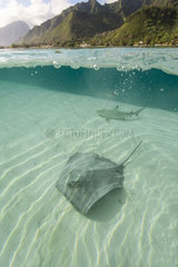 Stingray (mMliobatoidei) French Polynesia.