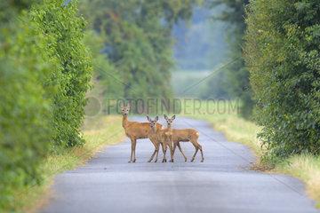 Western Roe deers (Capreolus capreolus) Crossing Road  Female with Fawns  Hesse  Germany  Europe