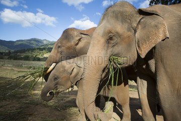 Asian Elephants (Elephas maximus) eating young bamboo shoots  Nong Tao  Chiang Mai Province  Thailand