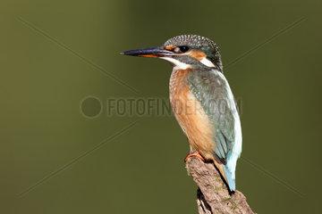 Common Kingfisher on branch - Warwickshire UK