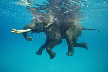 Asian Elephant swimming in sea - Andaman Islands India