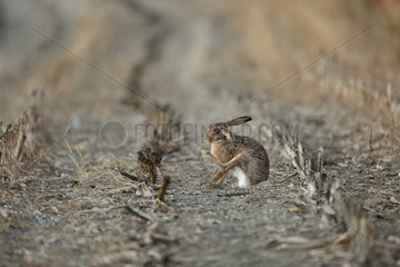 European Hare (Lepus europaeus) grooming in a mowed corn field  Alsace  France