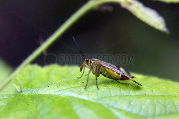 Common scorpion fly (Panorpa communis)